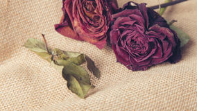 Two roses flowers and green leaves on a textured brown background Royalty Free Stock Photos