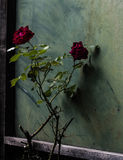 Two Roses. And green wall Royalty Free Stock Images