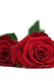 Two roses laying down Stock Photos