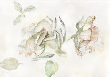 Two roses. Original watercolour illustration of two roses Royalty Free Stock Image