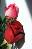 Two roses  - red and pink Royalty Free Stock Images