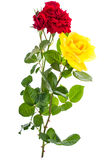 Two roses red and yellow on light background Stock Images