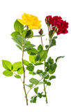 Two roses red and yellow on light background Royalty Free Stock Images