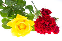 Two roses red and yellow on light background Royalty Free Stock Photos