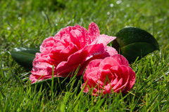 Two Roses (Rosa Grandiflora) Lying on Grass. After falling from bush in heavy rain Royalty Free Stock Photo