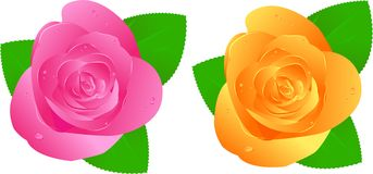 Two roses with waterdrops. Two fresh roses with waterdrops. Pink and orange Royalty Free Stock Image