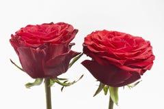 Two roses on white Stock Photo