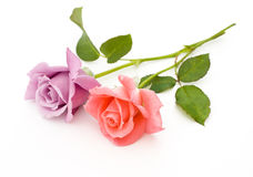 Two roses are on a white background. Pink and blue roses are on a white background Royalty Free Stock Photos