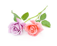 Two roses are on a white background. Pink and blue roses are on a white background Stock Photos