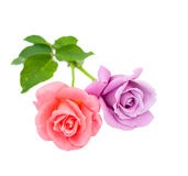 Two roses are on a white background. Three red roses are on a white background Stock Photos