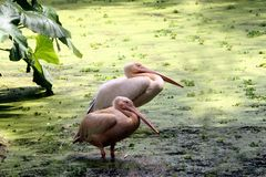 Rosy Pelicans in zoological park, India -11. Two rosy pelicans relaxing on the corner of lake in the zoological park in India royalty free stock image