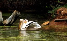 Two rosy pelicans in zoological park lake water, India. Two rosy pelicans in search of fish in zoological park lake water, India royalty free stock image