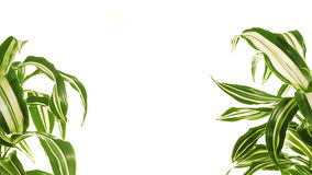 Two rotating plants with copy space between them. Isolated on white. stock video footage