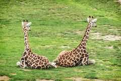 Two Rothschild giraffes Royalty Free Stock Image