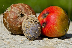 Two rotten apples and a plum Stock Images