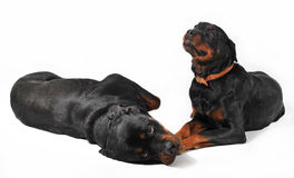 Two rottweiler Stock Image