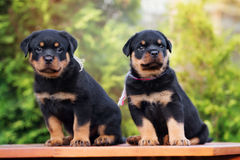 Two rottweiler puppies outdoors Royalty Free Stock Photography