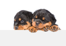 Two Rottweiler puppies peeking from behind empty board.  on white Royalty Free Stock Photo