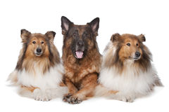 Two Rough Collie dogs and a German Shepherd Royalty Free Stock Image