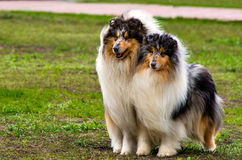 Two Rough сollies left. The Rough Collie seats on the grass in the park Stock Photos