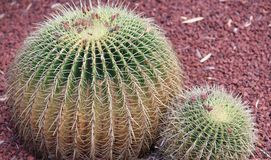 Two round barrel cactus wit red gravel close up royalty free stock photos