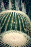 Two round cactuses Royalty Free Stock Image