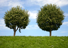 Two round trees. On grassland hill Royalty Free Stock Photo