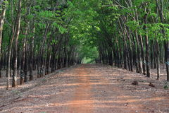 Two row of rubber trees harvesting for industry create a deep unique road in Vietnam Royalty Free Stock Photos