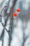 Two rowan berries Stock Images
