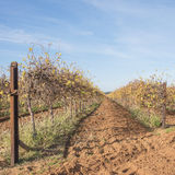 Two Rows of Grape Vines in Autumn. Stock Photos