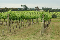 Two rows of grapes Royalty Free Stock Photo