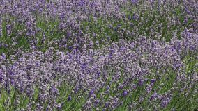 Two rows of Lavender. Lavender farm in Wanaka -New Zealand stock footage