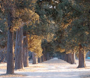 Two rows of old cypress. Two rows of ancient cypress trees, shot at sunset time in winter Stock Photography