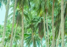 Two rows of palm trees stretching away royalty free stock photos