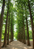 Two rows of trees at nami island Royalty Free Stock Photography