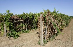 Two Rows Of Trellis Dried Vines. Royalty Free Stock Photos