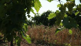 Between the two rows of the vineyard grows a strip of planting of wheat stock video footage