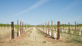 Two Rows of Young Vines in Grow Tubes. Royalty Free Stock Image