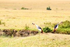 Two royal cranes turning their backs in the savannah of Masai Ma. Ra Park in Kenya royalty free stock photos