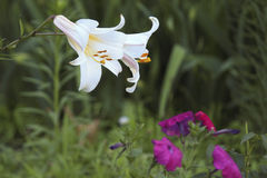 Two royal lily among grass and other flowers Stock Photos