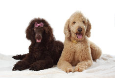 Two royal poodle Royalty Free Stock Photography