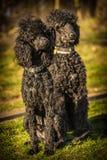 Two royal poodle dog Stock Photos