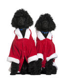 Two Royal Poodle puppies in Santa coats stock photography