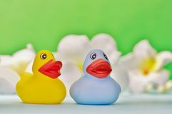 Two rubber duckies in a pond. stock photo