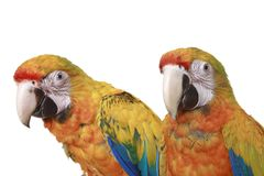 Two Ruby Macaw Parrots Stock Photo