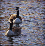 Two Ruddy ducks floating on lake waters on sunset Royalty Free Stock Image