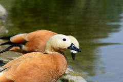 Two ruddy shel ducks. On a river bank Royalty Free Stock Images