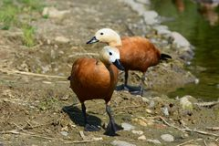 Two ruddy shel ducks walking. Along the shore Royalty Free Stock Photography