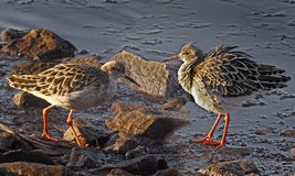 Two Ruffs Royalty Free Stock Photos