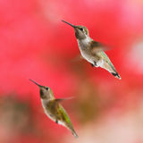 Two Rufous Hummingbirds. Side-by-side Stock Images
